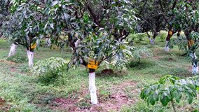 Mango Orchard Royalty Free Stock Photography