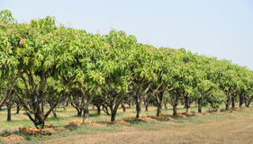 Mango orchard in Thailand Royalty Free Stock Images
