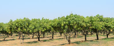 Mango orchard in Thailand Stock Photo