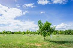 Mango orchards asia Thailand. Stock Images