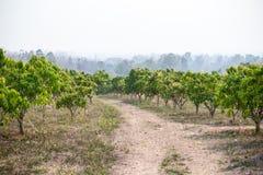 Mango orchards Royalty Free Stock Photography