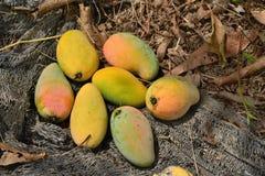 Mango på jordning. Fotografering för Bildbyråer