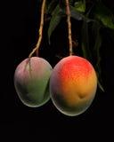 Mango på träd Arkivfoto