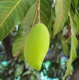 Mango på träd Royaltyfri Fotografi