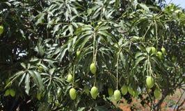 Mango på träd Royaltyfri Bild