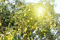 Mango på trädet Royaltyfri Bild