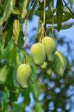 Mango på Tree av Thailand Fotografering för Bildbyråer