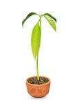 Mango Plant Stock Image