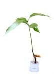Mango plant Royalty Free Stock Photography