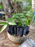 The mango plant stock photos