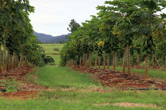 Mango plantation Stock Photography