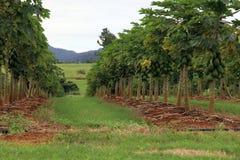 Mango plantation Stock Photography
