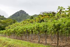 Papaya Plantation, Rarotonga, Cook Islands, Pacific Ocean Royalty Free Stock Photos