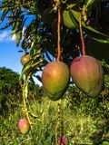 Mango planting. In irrigated agriculture of the São Francisco River Valley, in Petrolina, Pernambuco State royalty free stock image