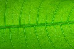 Mango's leaf pattern. Texture no closeup Royalty Free Stock Photography
