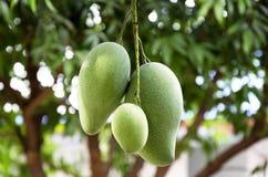 Mango's op een mangoboom. Stock Afbeeldingen