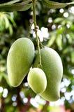 Mango's op een mangoboom. Royalty-vrije Stock Foto's