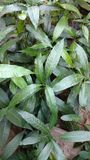 mango saplings closeup royalty free stock photo