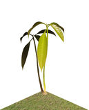 Mango seedling Royalty Free Stock Photo