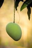 Mango. Single mango at hanging on tree stock image