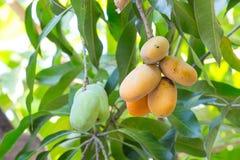 Mango som är mogen på träd Royaltyfri Bild