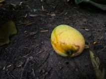 Mango som avverkar från trädet royaltyfri foto