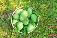 Mango'soogst in mangoaanplanting in Thailand Stock Afbeeldingen