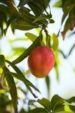 Mango sugoso in un albero fotografia stock libera da diritti