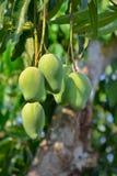 Mango sull'albero della Tailandia Fotografie Stock Libere da Diritti
