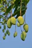 Mango sull'albero della Tailandia Fotografia Stock