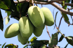 Mango tree Stock Image