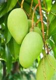 Mango tree Stock Images