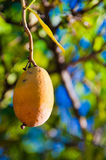 Mango on a tree Royalty Free Stock Images