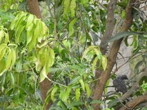 Mango tree and asian female koel perched on it stock photos