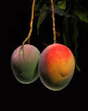 Mango on tree Stock Photo