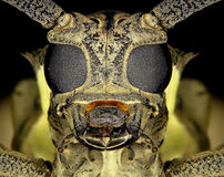Mango tree borer Stock Images