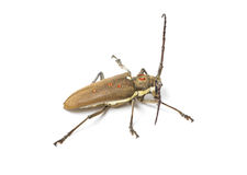 Mango Tree Borer. Stock Photography