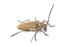 Mango Tree Borer. Stock Images