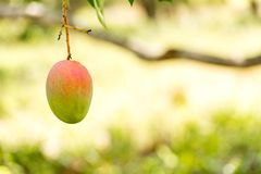 Mango on a tree branch with a blurred background, Vinales, Pinar del Rio, Cuba. Close-up. Copy space for text. Mango on a tree branch with a blurred background Stock Image