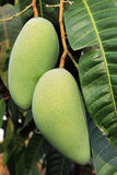 Mango on tree branch. Stock Photography