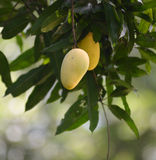 Mango on the tree. Stock Photography