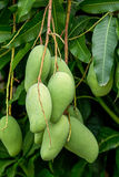 Mango on tree Royalty Free Stock Photography