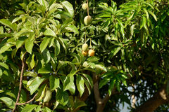 Mango tree Stock Images
