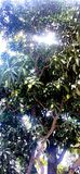 Mango tree with cross light. royalty free stock photo