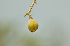 Mango Tree in Early Stage Stock Photos