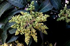 Mango tree in flowering, Mangifera indica, evergreen tree. With shinning lanceolate leaves and small cream coloured flowers in broad panicles and juicy drupe royalty free stock photography