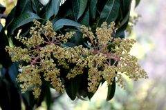Mango tree in flowering, Mangifera indica, evergreen tree. With shinning lanceolate leaves and small cream coloured flowers in broad panicles and juicy drupe royalty free stock images
