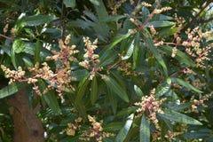 Mango tree flowers stock photos
