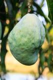 Mango tree with fruits Stock Photography