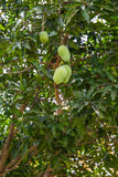 Mango tree Royalty Free Stock Photography
